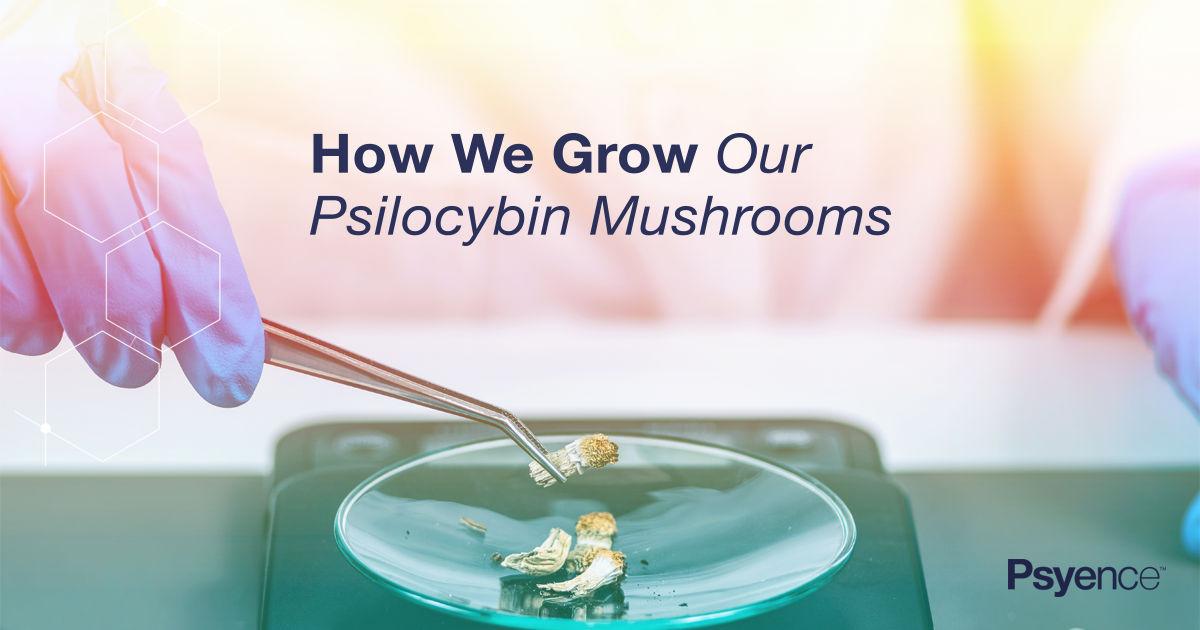 How we grow Psilocybin Mushrooms | Psyence