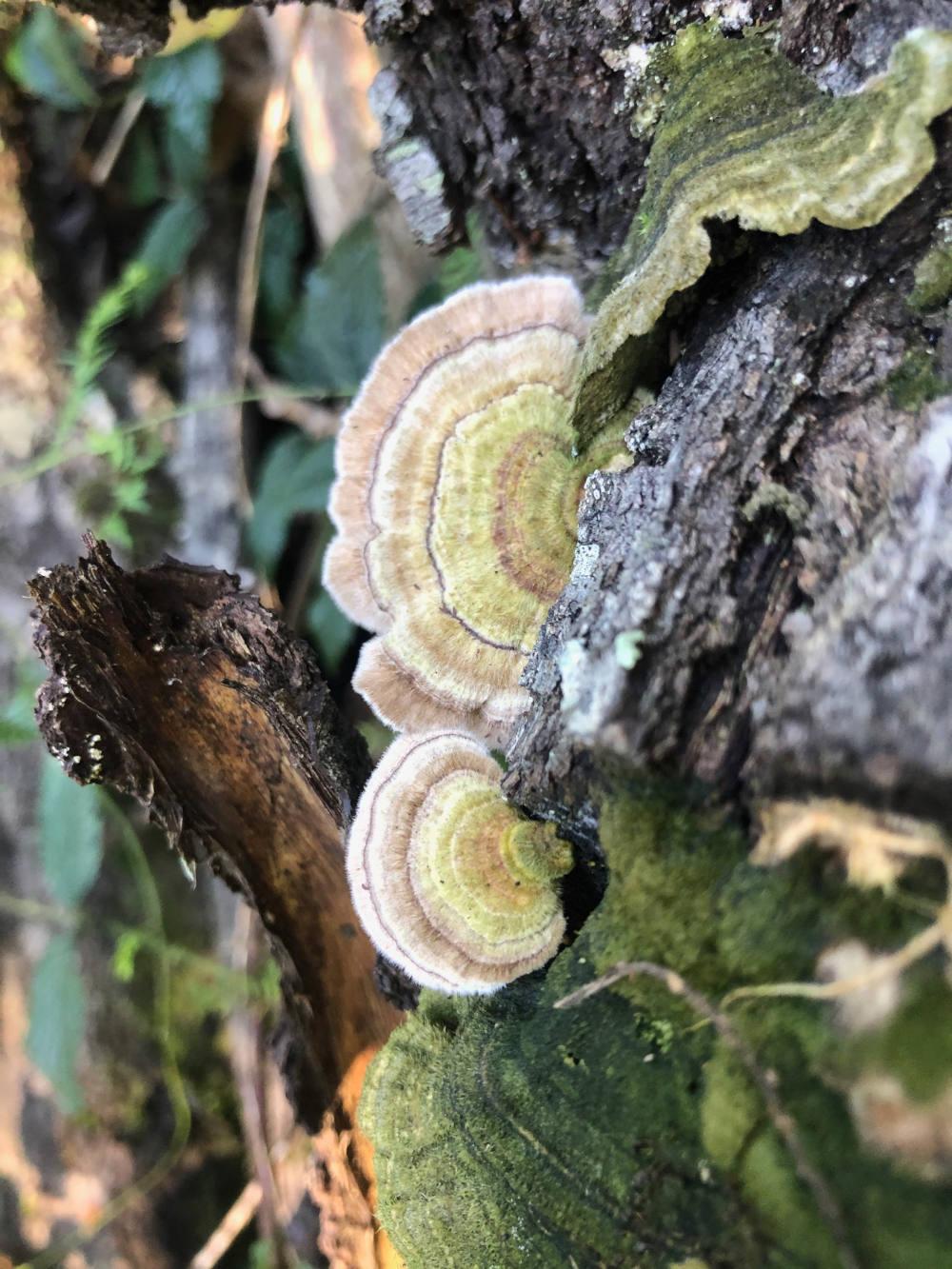 Trametes versicolor | Psyence | Mushrooms